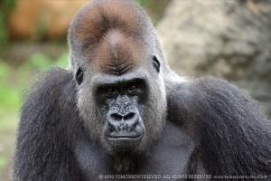r-gorilla